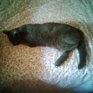 szürke cica fekszik, kötéssel a lábán