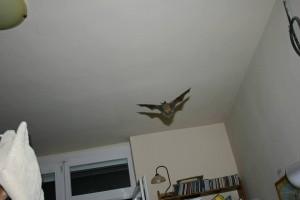 denevér a szobában repül - lehet veszettség vírushordozó ő is