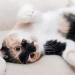 nőstény cica hempereg